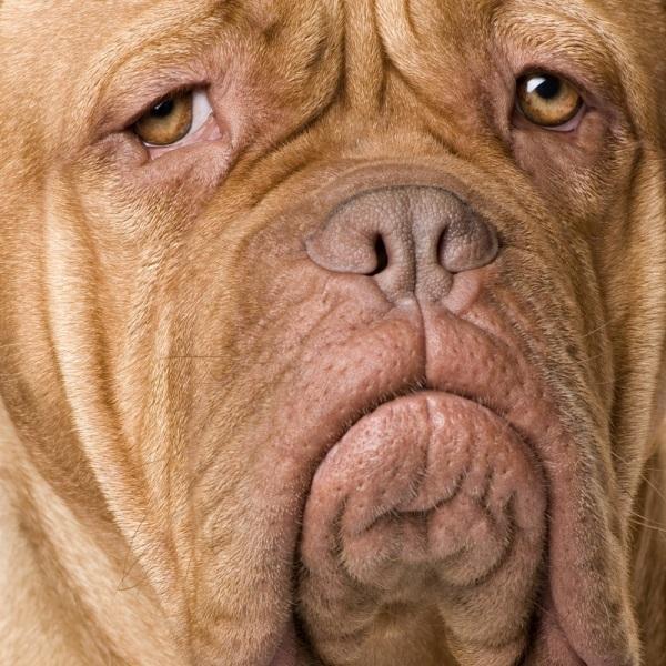sad-face-dogue-de-bordeaux-photo